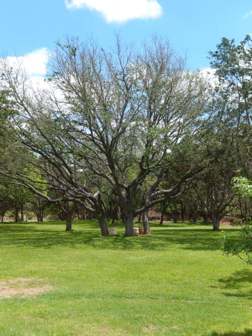 stressed oaks