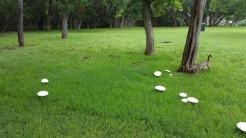 Mushrooms in Lawn