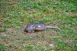 Dead and Decaying Armadillo: YUCK!