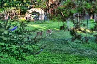 Fawn(s) in Our Back Yard