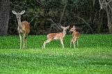 Fawn(s) and Mama