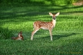 fawn(s)