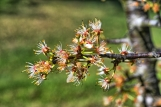Mexican Plum Blossoming