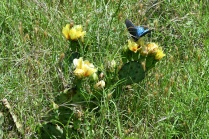 Prickly Pear Cacti & Butterfly