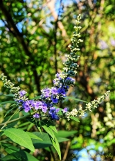 Vitex Blossom(s) in Close-Up