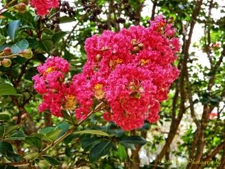 Crape Myrtle Blossoming