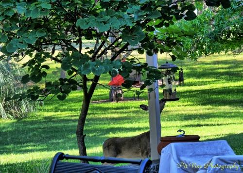 deer stealing birdseed