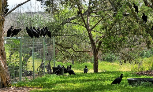 vultures around the kennel
